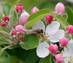 Bee_in_apple_blossomcrop