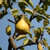 dreamstimefree_244160pear crop