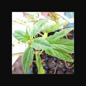 Sesame Plant Wiki Commons