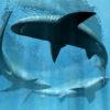 Aries Full Moon: Sharks